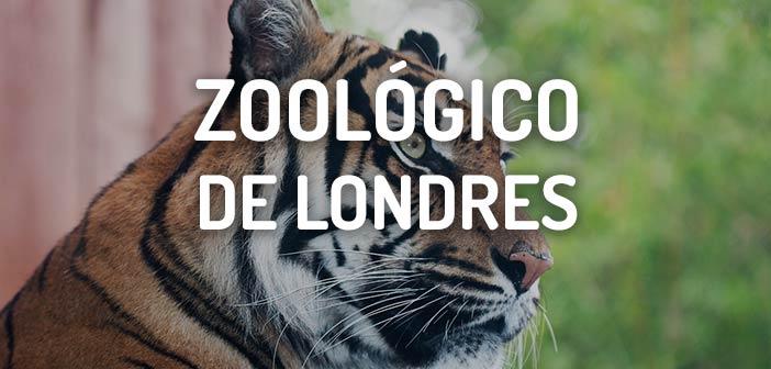 zoologico de londres tigre